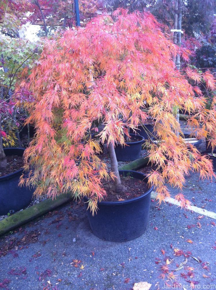 Érable du Japon : comment l'associer au jardin ? Conseils