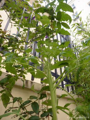 tomate hypomée