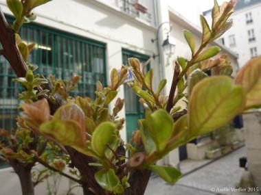 lilas des indes bien vivant