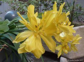 tulipe très exhibée au soleil