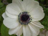 anemone blanche_AV