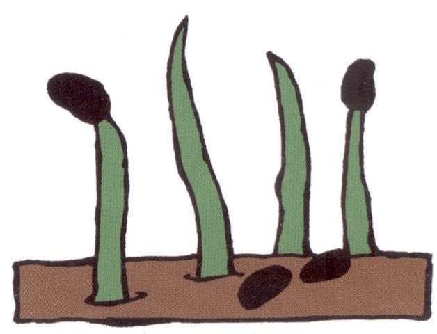 15a-monocot