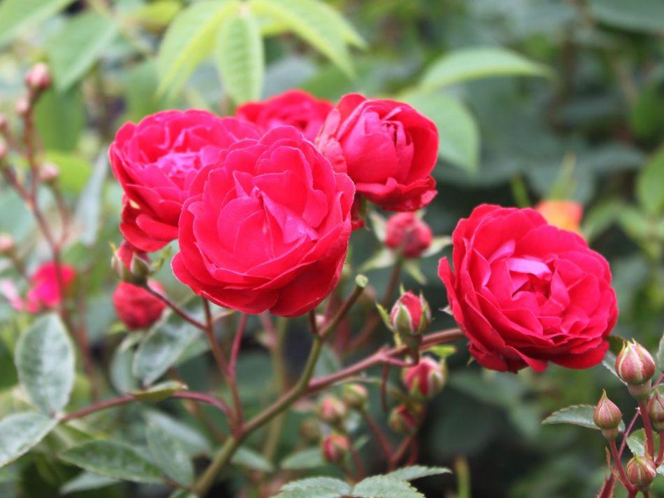 Beetrose 'Muttertag' - Rosa 'Muttertag'