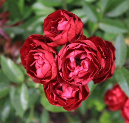 20170514E  Moje róze - moja pasja.jpg