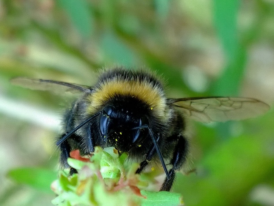 20170617G, Buzzy Bee, Kiwi Flickr.jpg