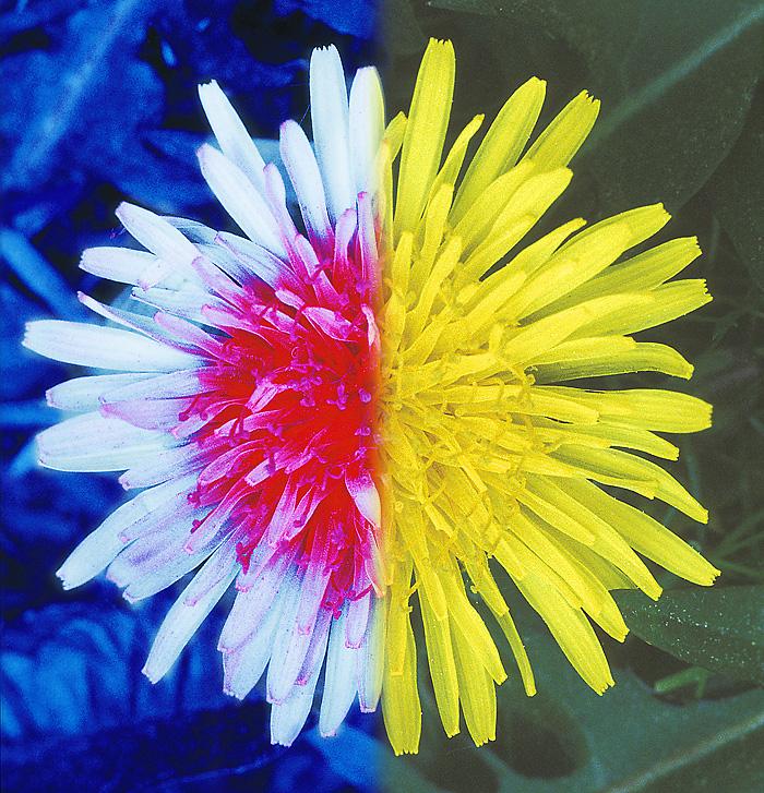 Løvetann (Taraxacum sect. Ruderalia;  T. officinale).  Sammensatt bilde som viser blomsterkorg og bladverk i ultrafiolett (UV) og i synlig lys.