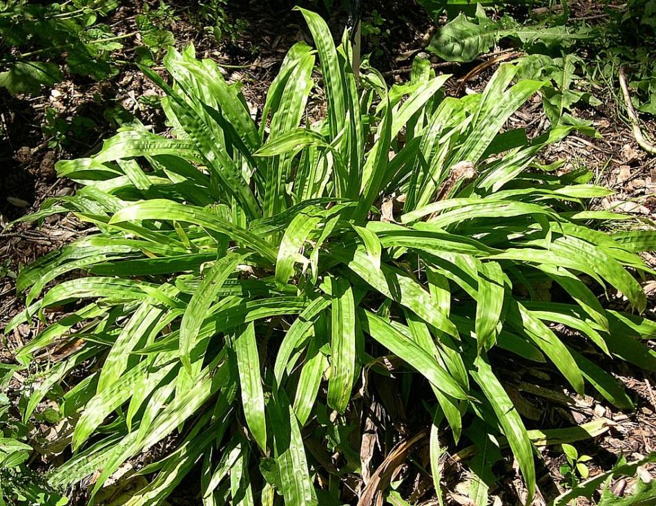 20171017C Carex plantaginea Jay Sturner, Flickr.jpg