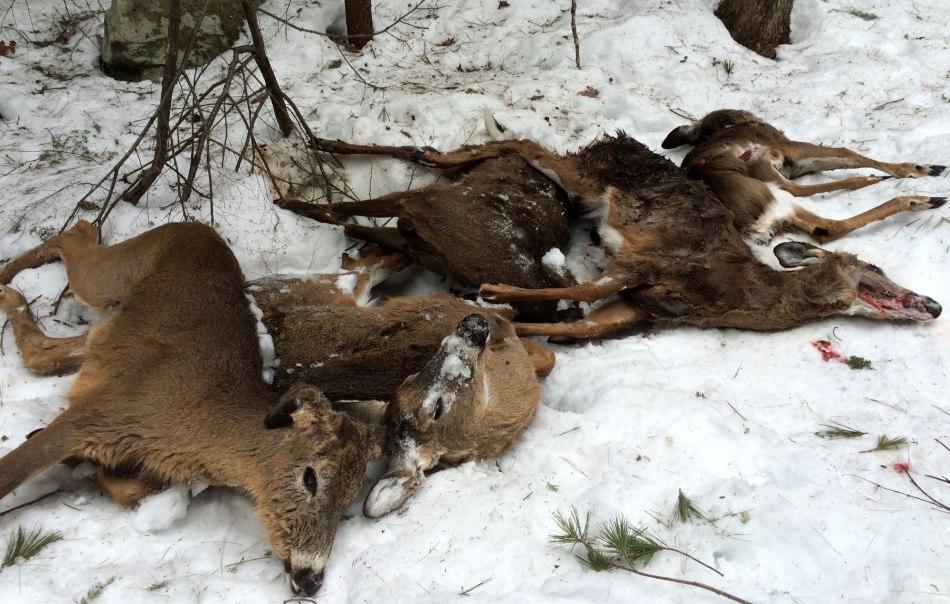 dead-deer-in-new-hampshire.jpg