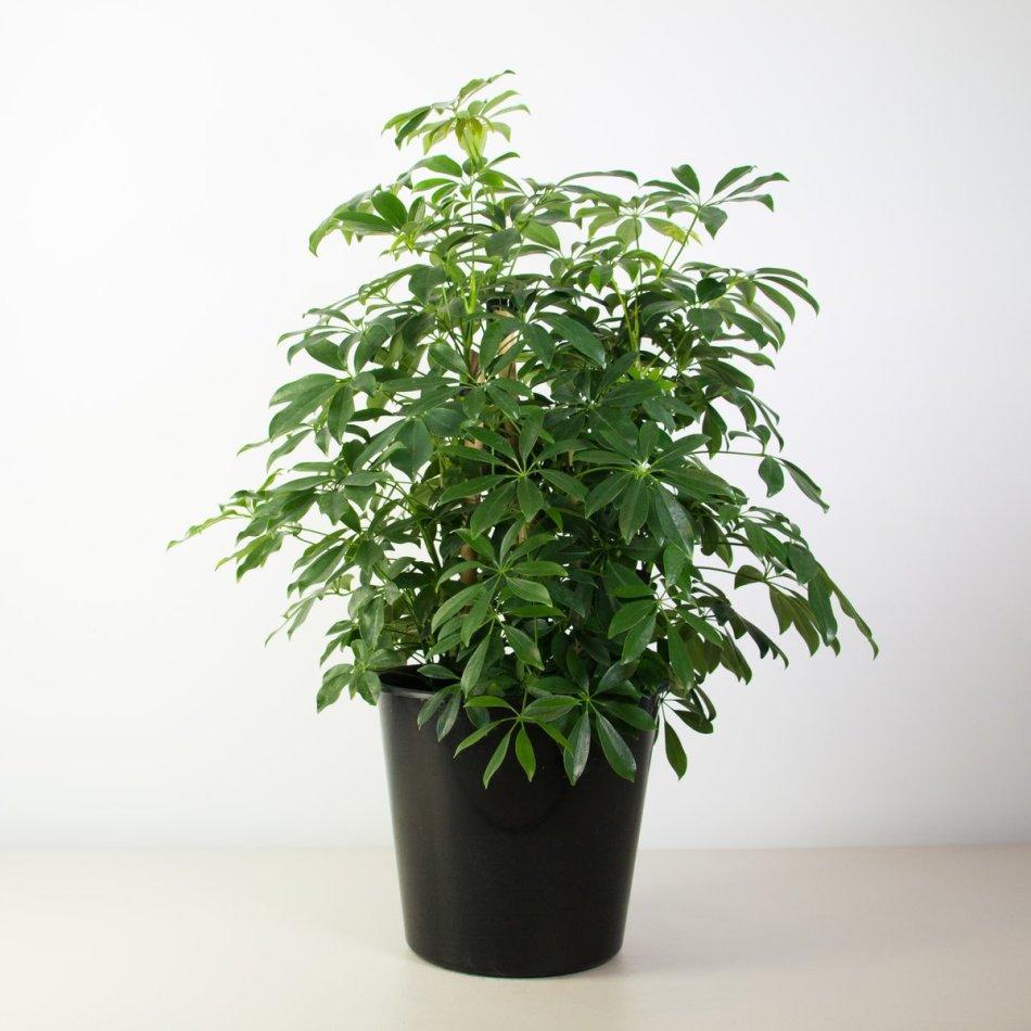 20180126N Schefflera arboricola www.plantandpot.nz.jpg