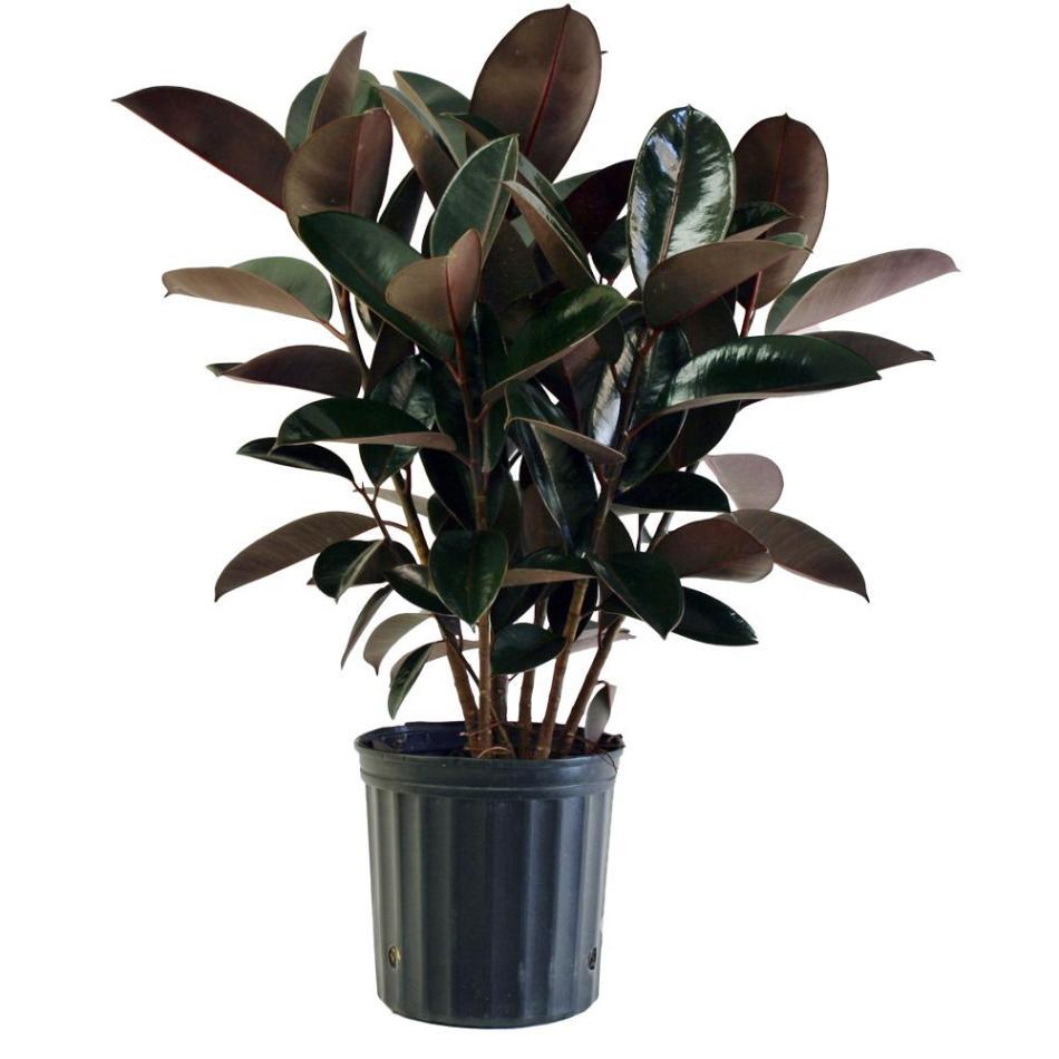 20180127H Ficus elastica Burgundy www.homedepot.com.jpg