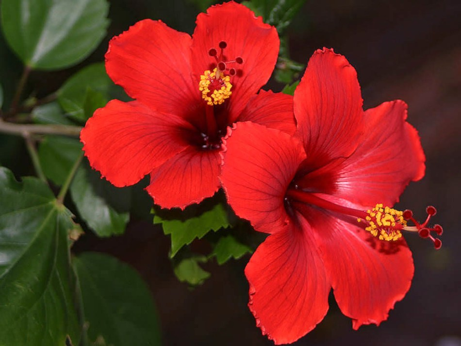 20180306A Hibiscus-rosa-sinensis worldoffloweringplants.com.jpg