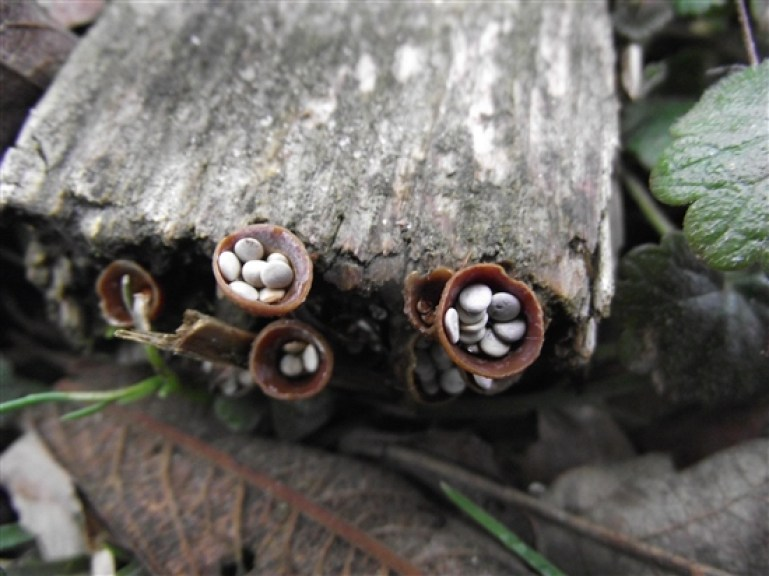 20180923B Crucibulum vulgare, Ian Barthorpe, ww2.rspb.org.uk