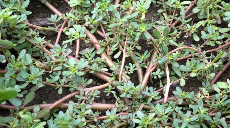 Peut-on cultiver du pourpier au potager?