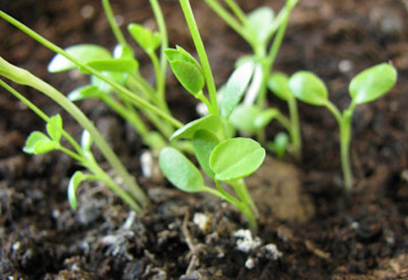 Semis qui germent à partir d'une bombe à semence défaite par la pluie.