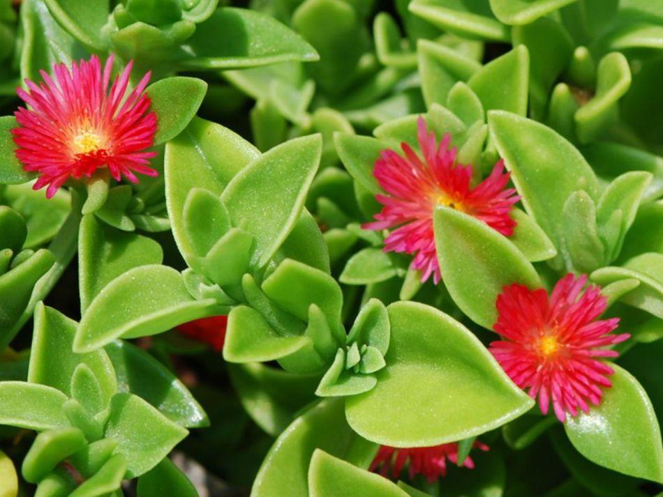 ficoïde hybride 'Red Apple' (Mesembryanthemum × 'Red Apple'), feuilles vertes, fleurs rouges