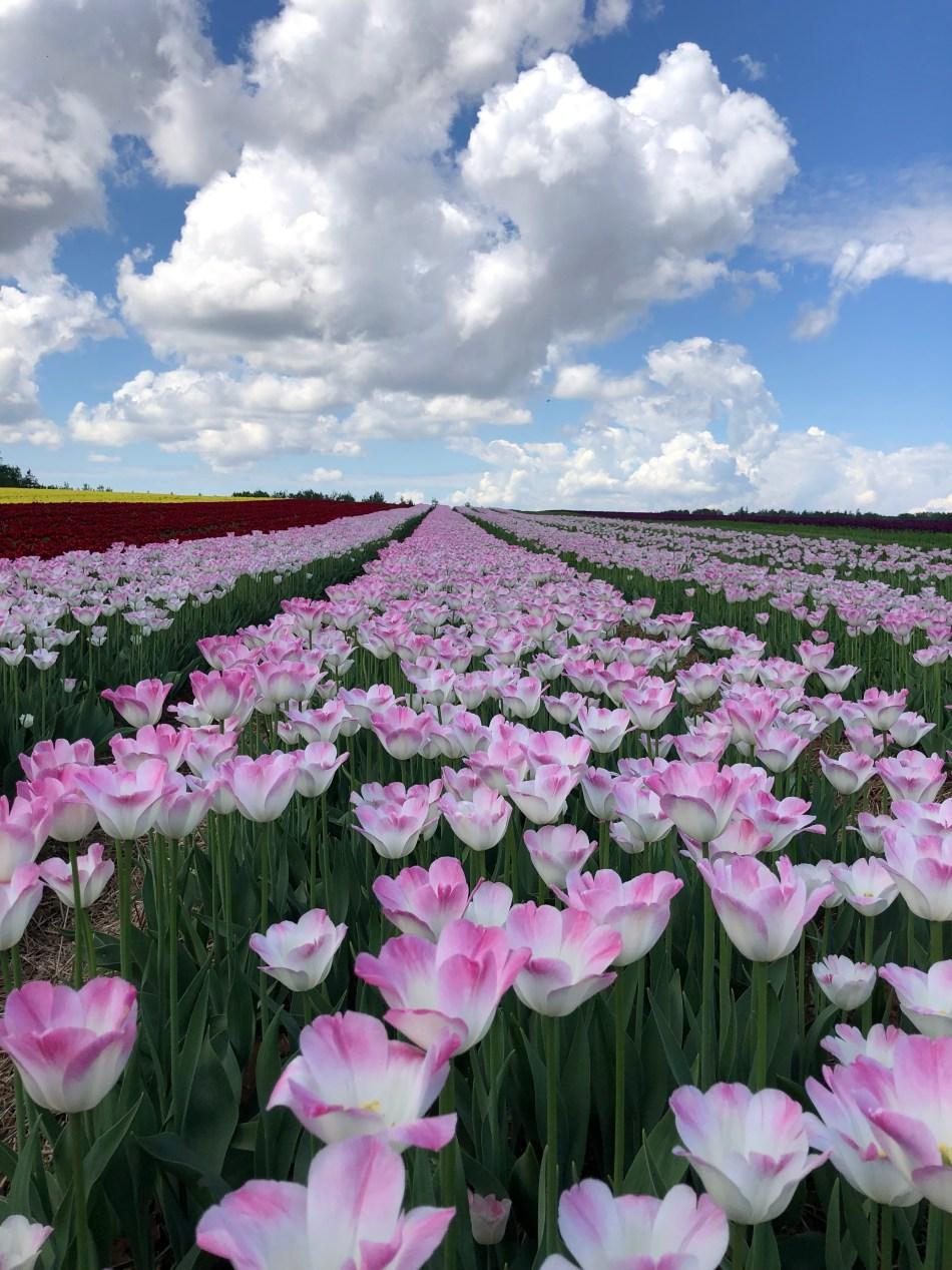 Champ de tulipes 'Acadie' roses et blanches,  ciel bleu avec nuages blancs.