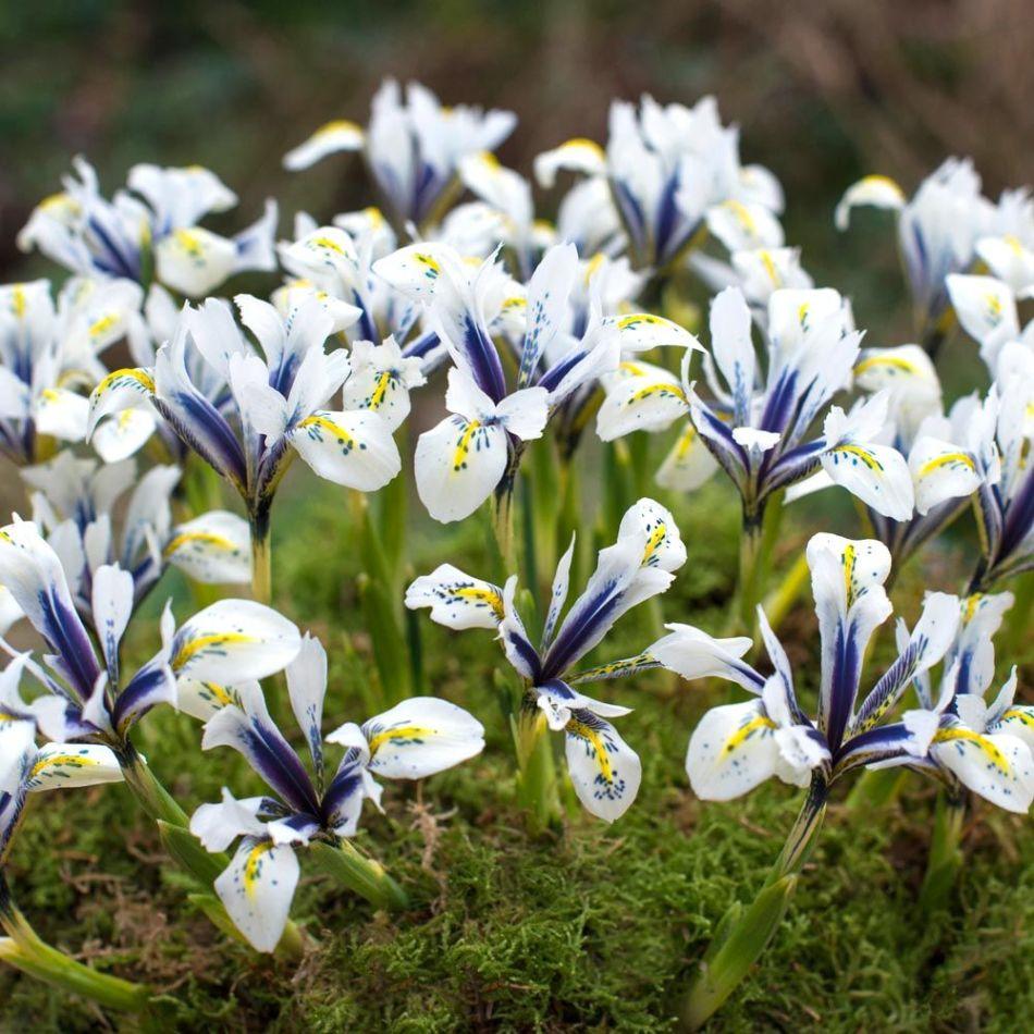 Eye Catcher Iris, blanc avec bande et taches bleu cobalt, marque jaune