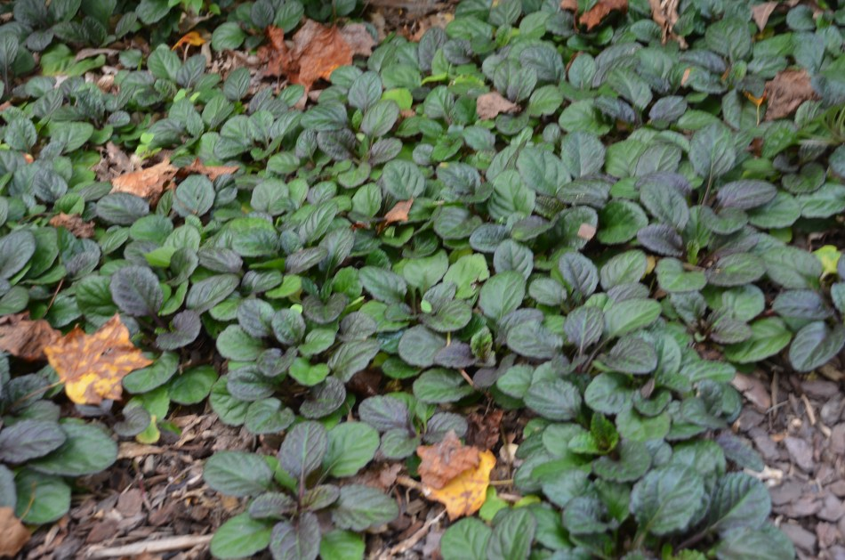 Ajuga 'Catlin's Giant', tapis de feuilles pourpres