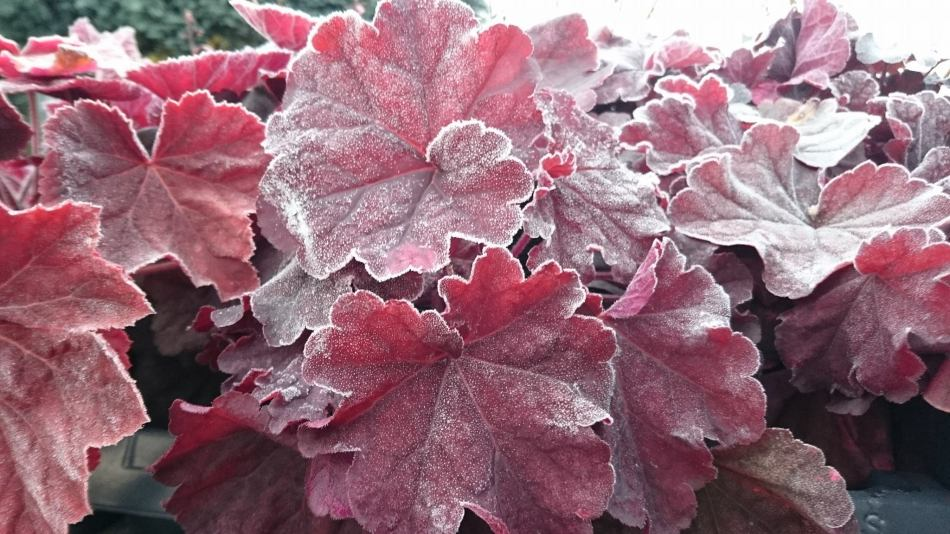 Heuchera Berry Smoothie, feuilles rouge rosé avec givre blanc