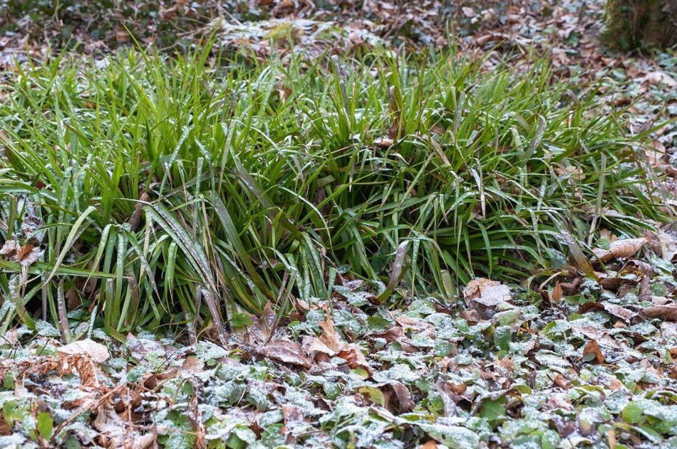 luzule des bois (Luzula sylvatica), feuilles graminiformes vertes