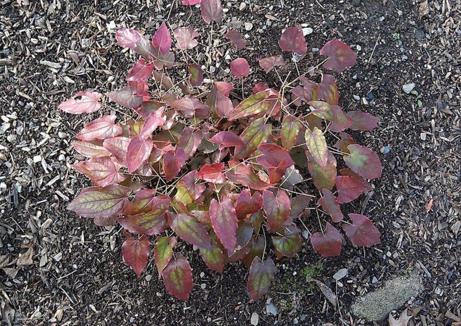 Epimedium sempervirens, feuilles rouges, nervures dominantes