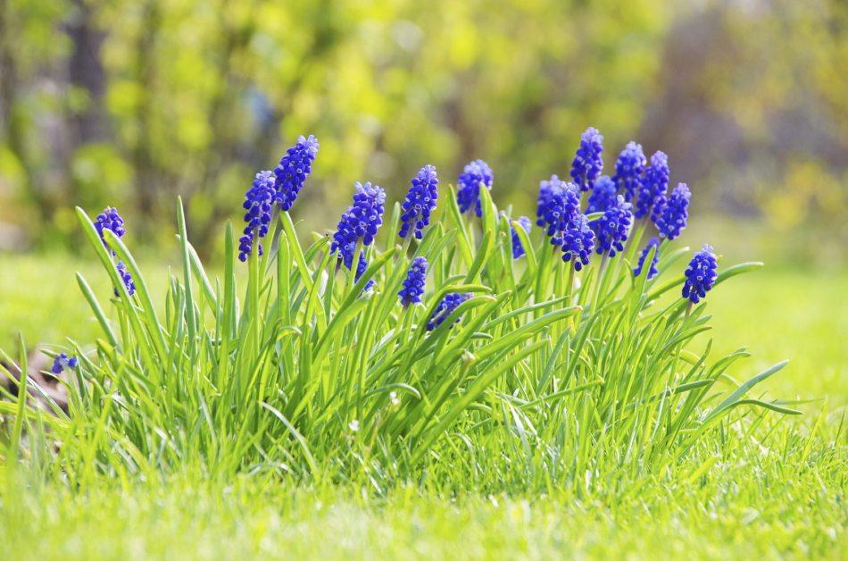 Muscari pourpres dans une pelouse