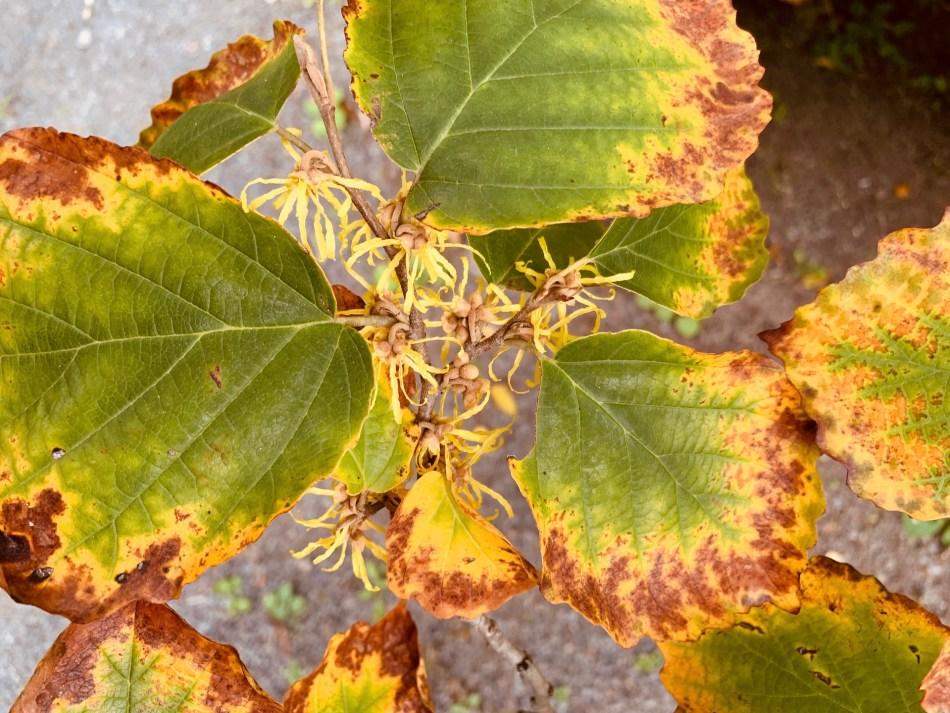Hamamélis de Virginie (Hamamelis virginiana) en fleurs.