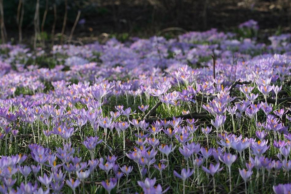 milliers de crocus de Tommassin dans une pelouse
