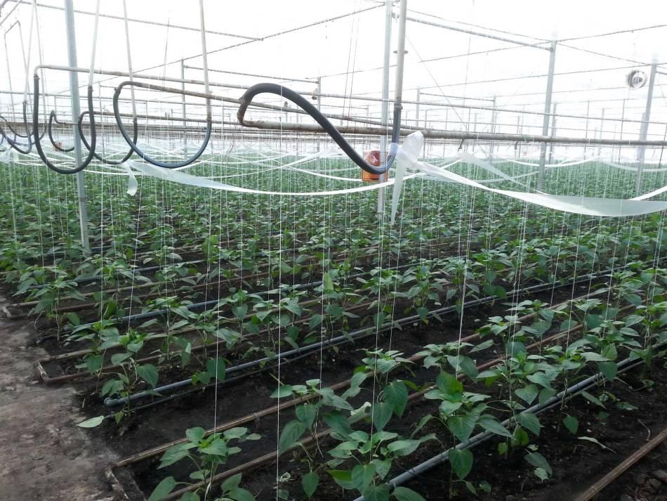 Serre de production de poivrons