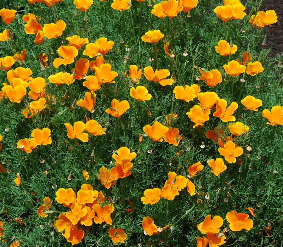 Fleurs de Eschscholzia californica