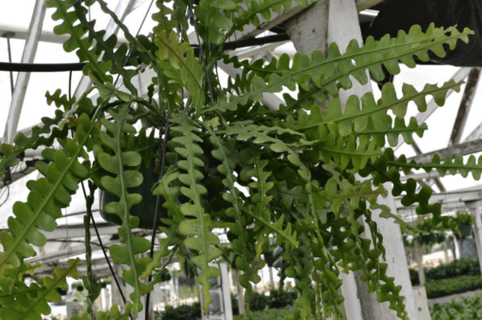 Cactus zigzag en suspension