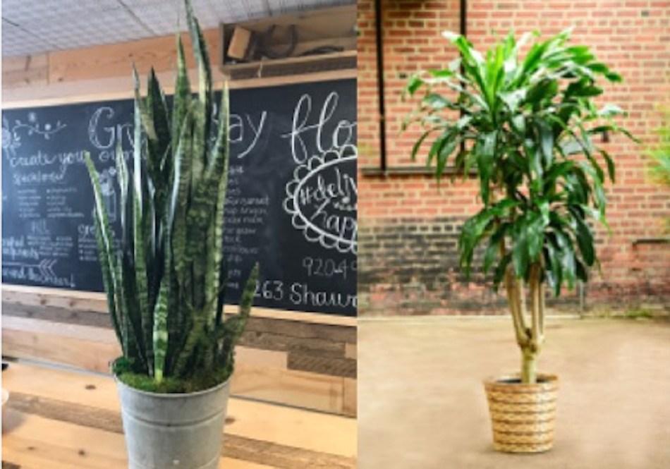 Sansevieria trifasciata comparé à  Dracaena fragrans