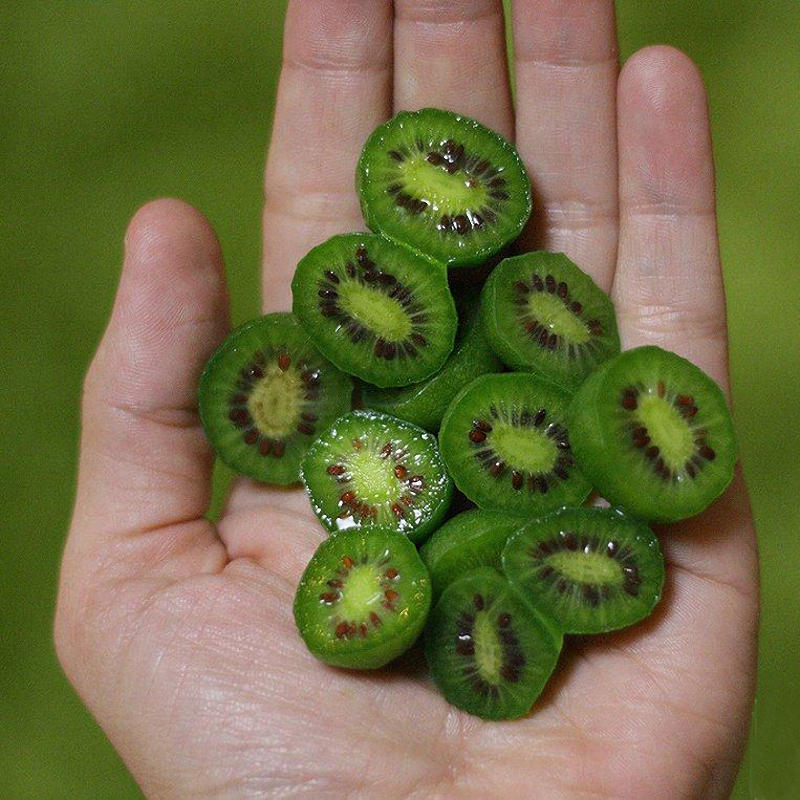 Fruits de kiwi rustique (Actinidia arguta)