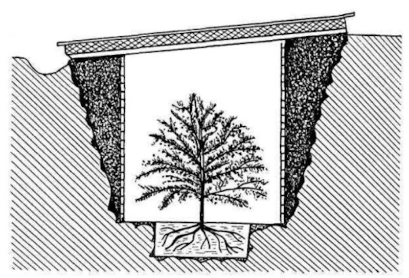 Agrume nain dans une tranchée couverte et isolée pour l'hiver