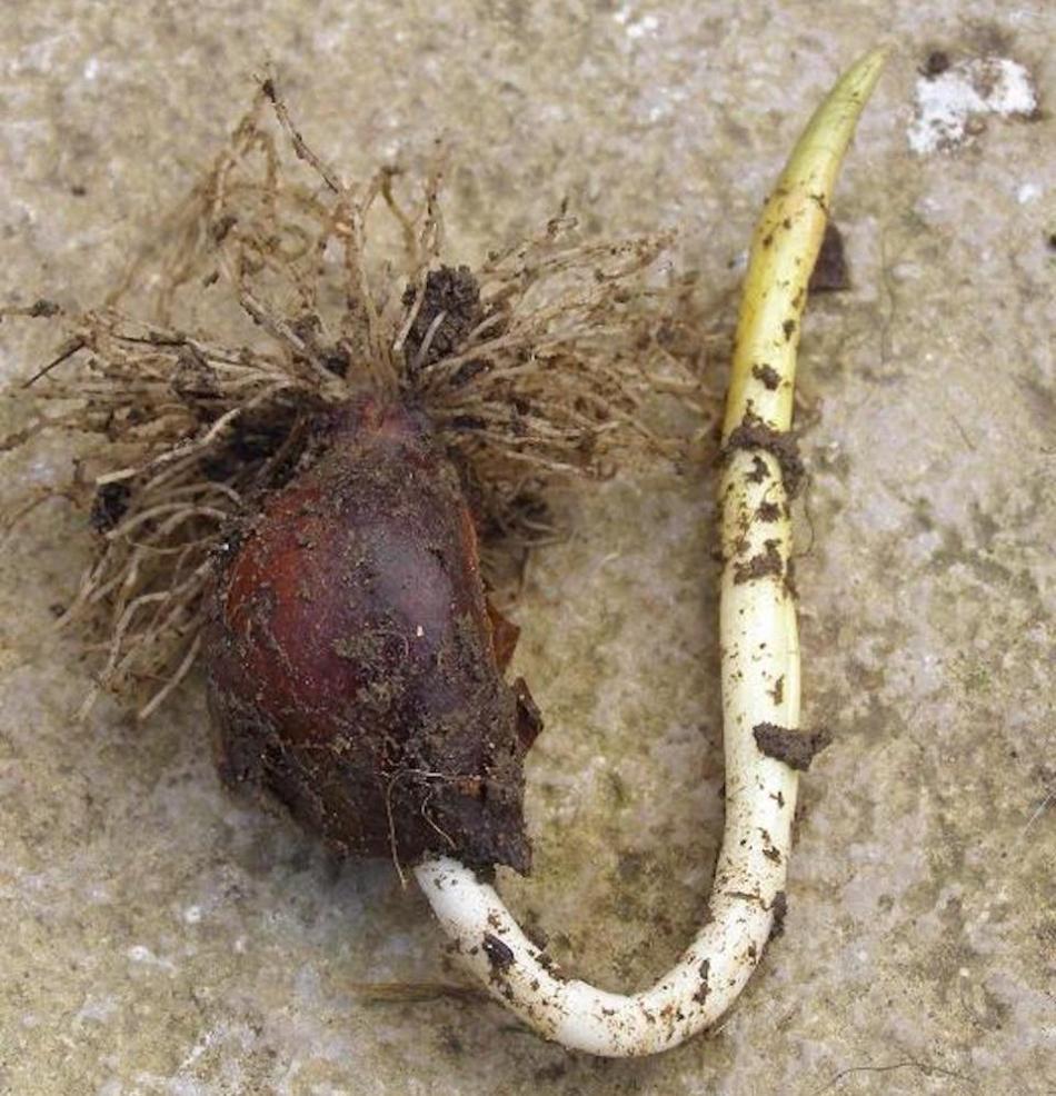 Bulbe de tulipe planté à l'envers: les racines sont sur le dessus et la tige florale courbe pour se redresser.