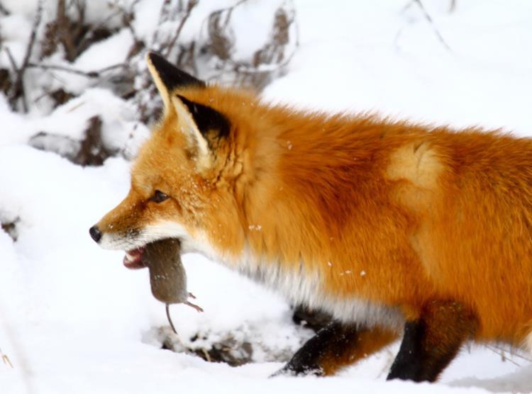 Renard dans la neige, mulot dans la bouche