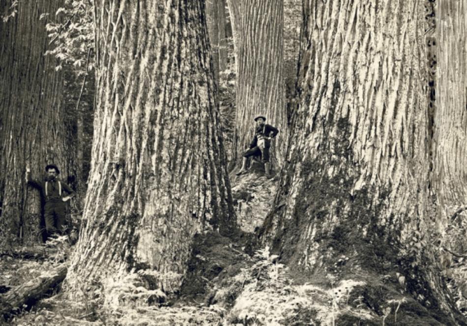 Photo noir et blanc de grands châtaigniers d'autrefois.