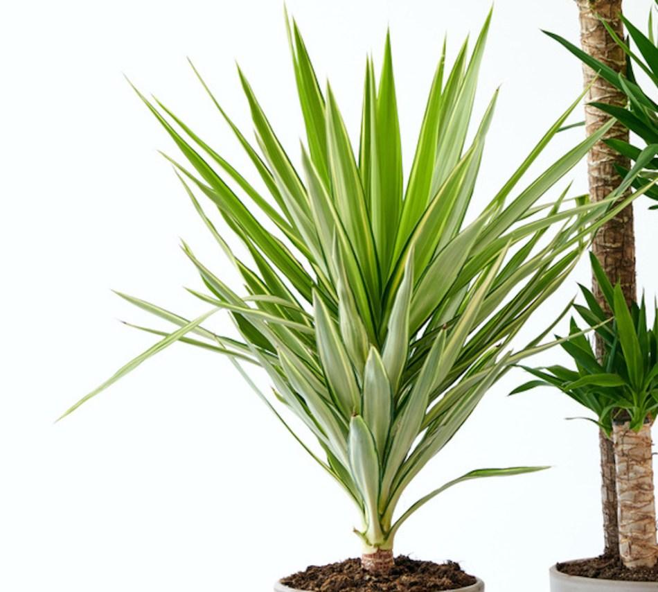 Yucca gigantea 'Variegata à feuillage panaché
