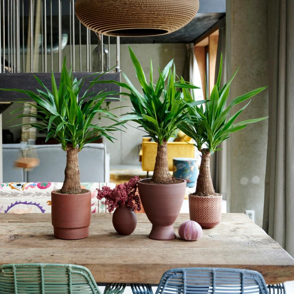 yuccas sans épine au tronc épaissi