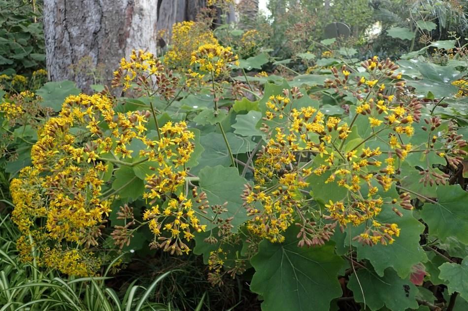 Séneçon à feuilles de pétasite avec grandes feuilles et masses de fleurs jaunes