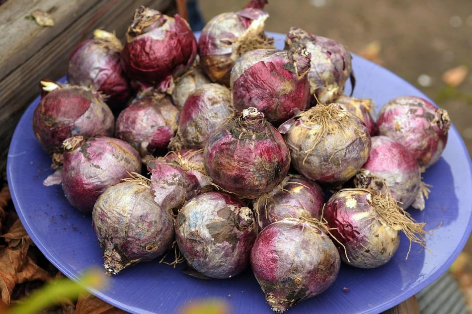 Bulbes de jacinthe dans une assiette