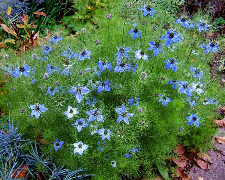 Nigelle à fleurs bleues