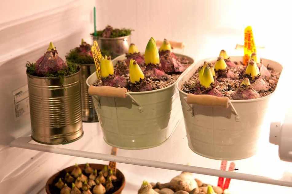 Bulbes de jacinthe qui poussent au frigo.