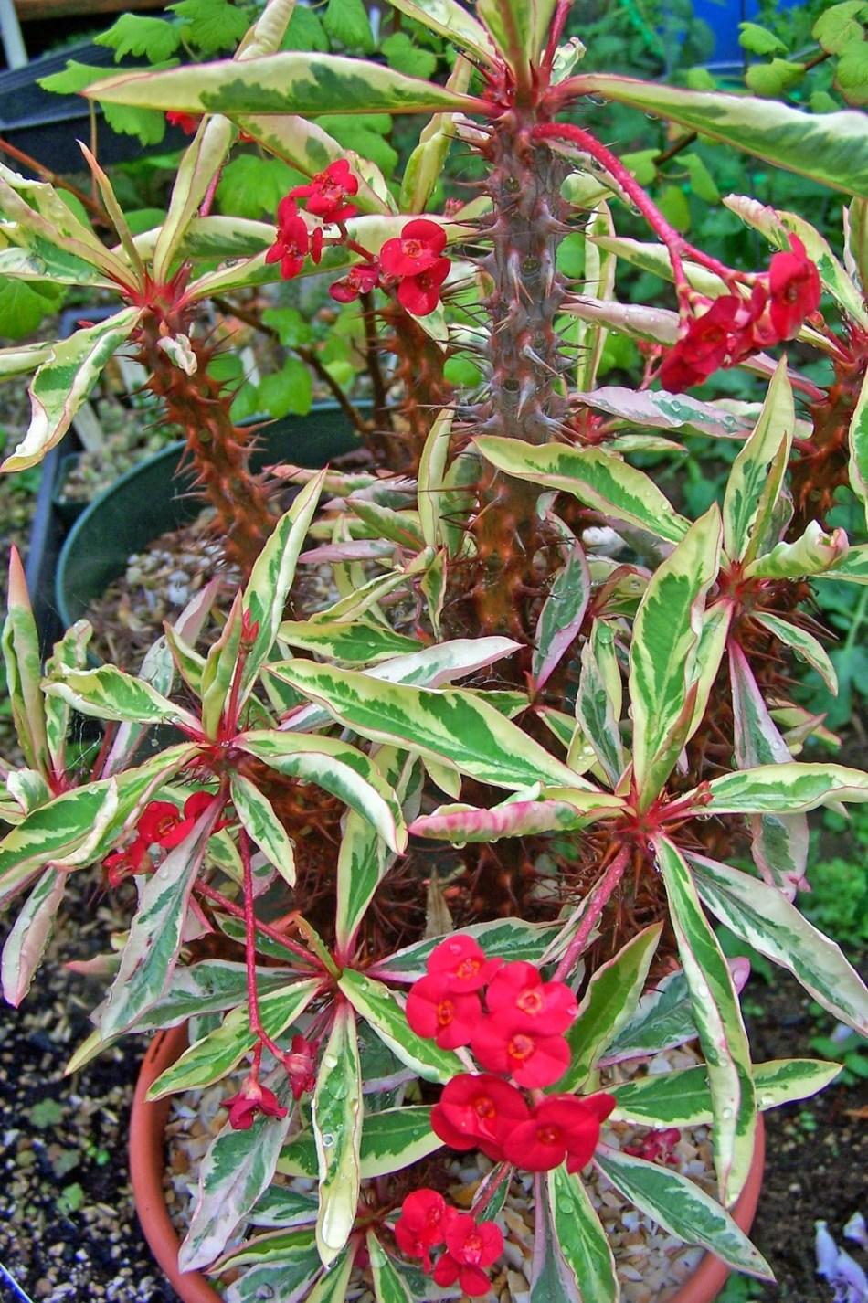 Couronne d'épines à feuillage panaché, fleurs rouges