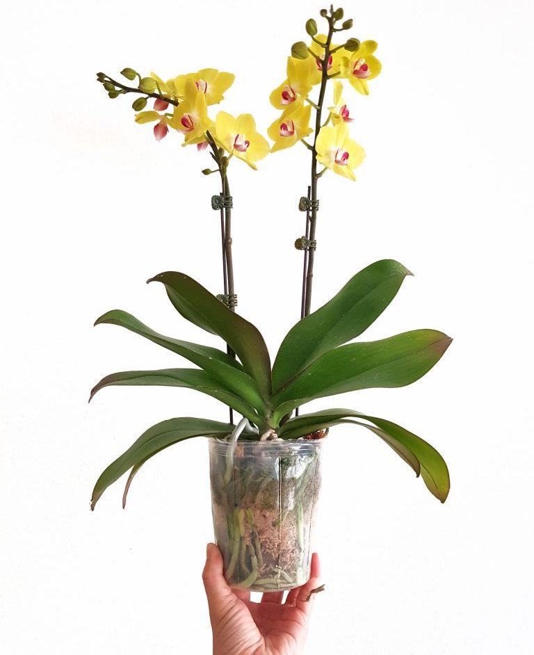 Orchidée dans son pot de culture transparent.