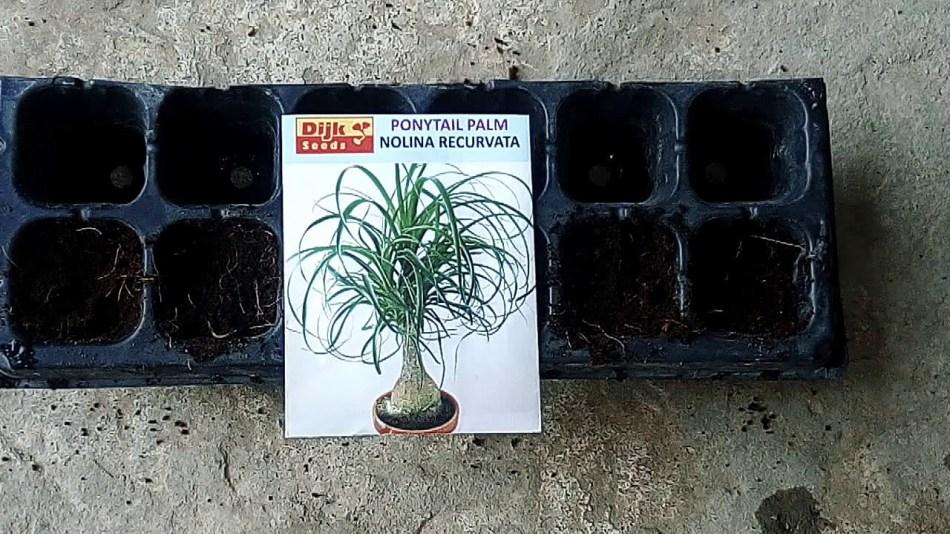 Sachet de semences de beaucarnea et plateau d'alvéoles pour le semis.