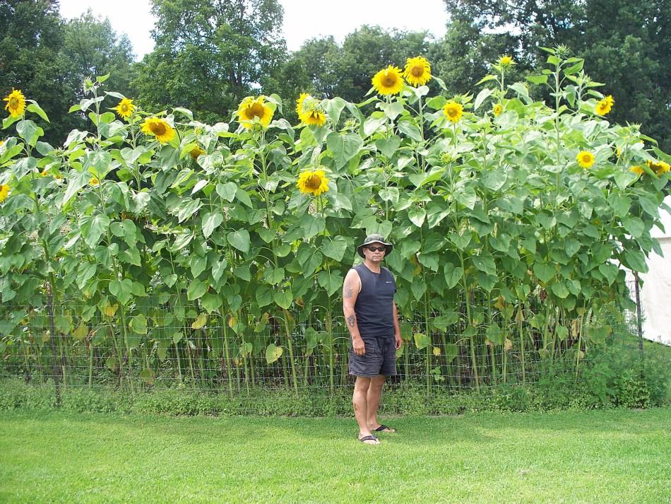 Homme devenant une plantation de tournesols 2 fois plus grands, fleurs jaunes