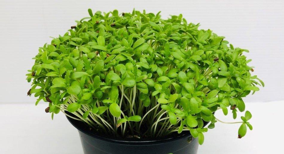 Pot de micropousses de chrysanthème couronné, petites feuilles vertes.