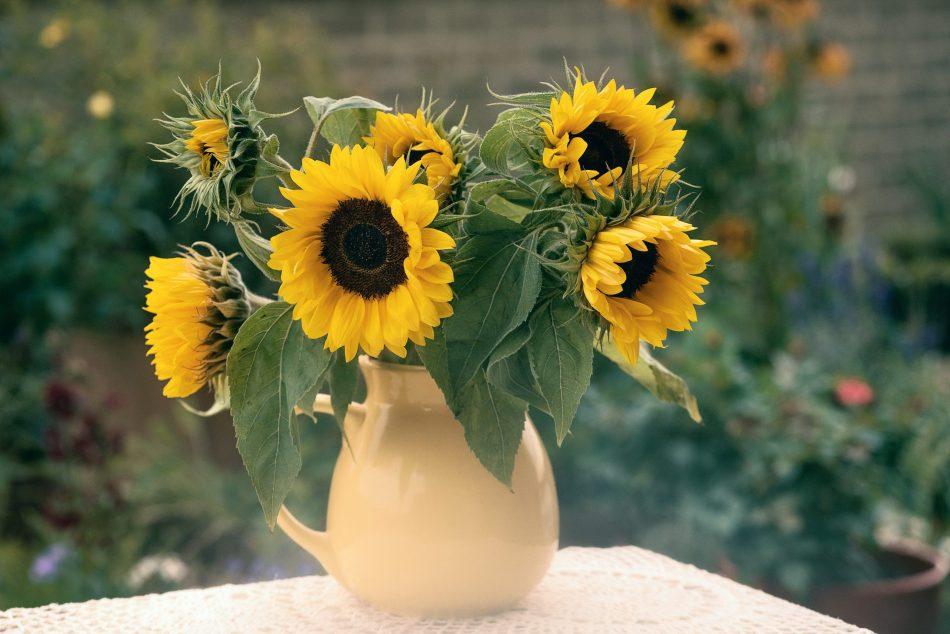 tournesol 'Holiday' utilisé comme fleur coupée dans un pitchet beige