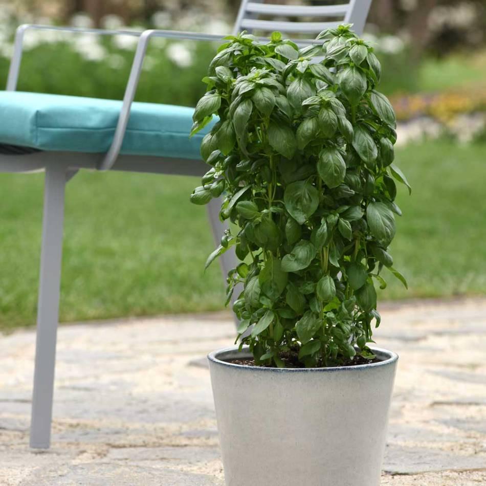 Basilic vert à port colonnaire cultivée dans un pot.